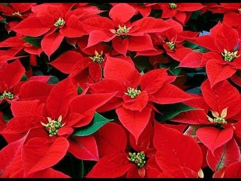 Flores de navidad super sencillas.